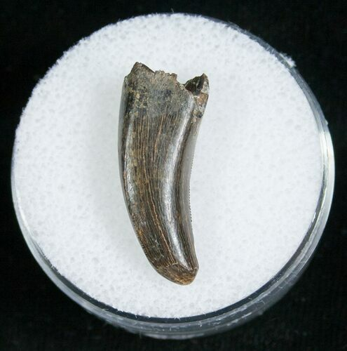 Large .94 Inch Raptor Tooth - Montana