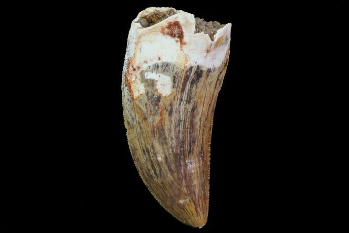 "Serrated, 1.88"" Carcharodontosaurus Tooth"