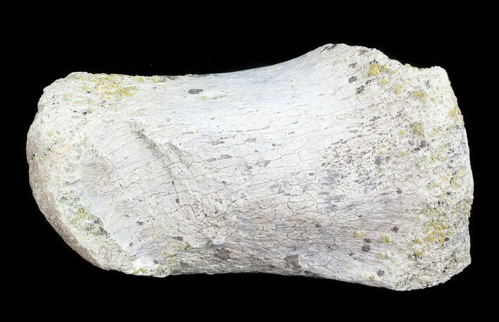 "2.4"" Hadrosaur Finger Bone - Alberta (Disposition #000028-29)"