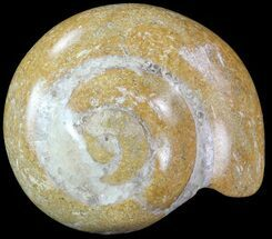 "Buy 1.8"" Polished Fossil Gastropod - Madagascar - #70687"