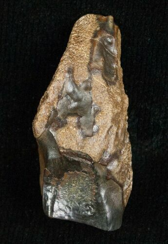 Large Triceratops Shed Tooth - .99""