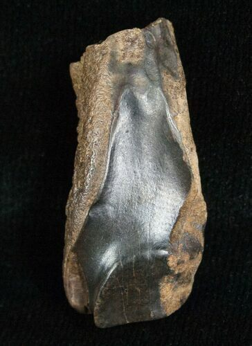 Large Triceratops Shed Tooth - 1.16""