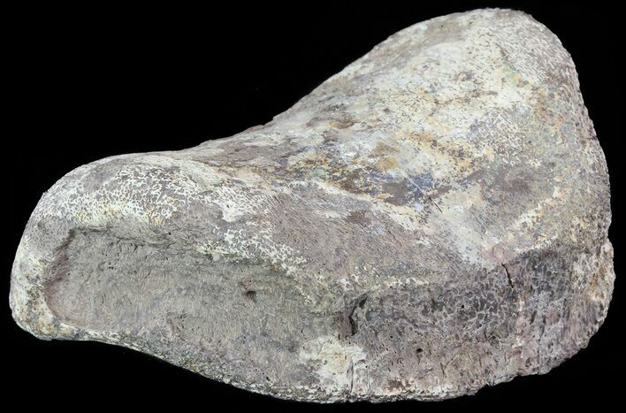 "3"" Hadrosaur Toe Bone - Alberta (Disposition #000028-29)"