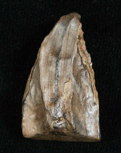 Large Triceratops Shed Tooth - .96""