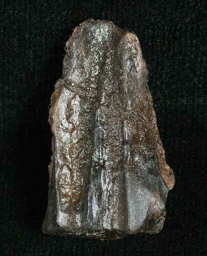 Large Triceratops Shed Tooth - 1.02""
