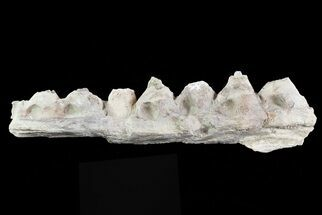 "6.4"" Tylosaurus Jaw Section - Smoky Hill Chalk, Kansas For Sale, #70268"