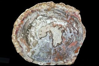 "Buy 11.8"" Colorful Petrified Wood (Araucaria) - Madagascar  - #71893"
