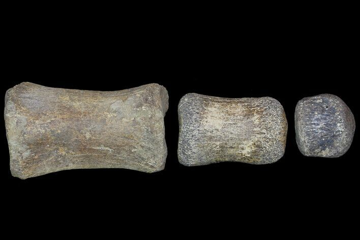 Composite Hadrosaur Finger - Alberta (Disposition #000028-29)