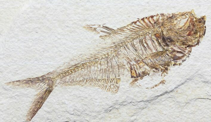 "4.7"" Diplomystus Fossil Fish - Wyoming"