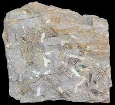 "Bargain, 6.2"" Wide Eocrinoid (Ascocystites) Plate - Ordovician For Sale, #72104"