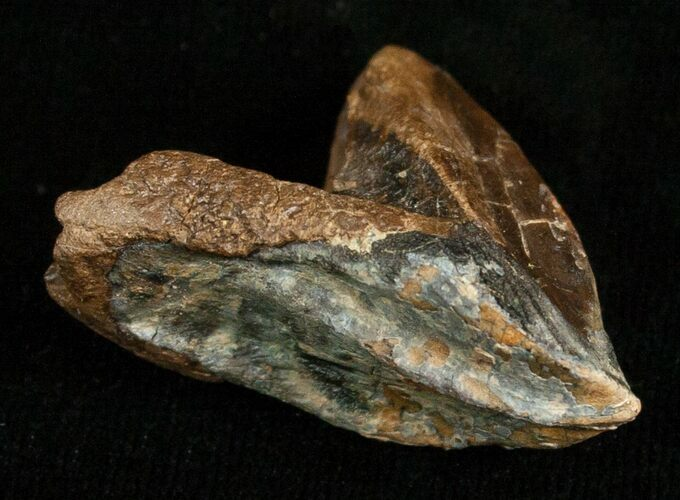 Huge, Unworn Triceratops Tooth - 1.35""