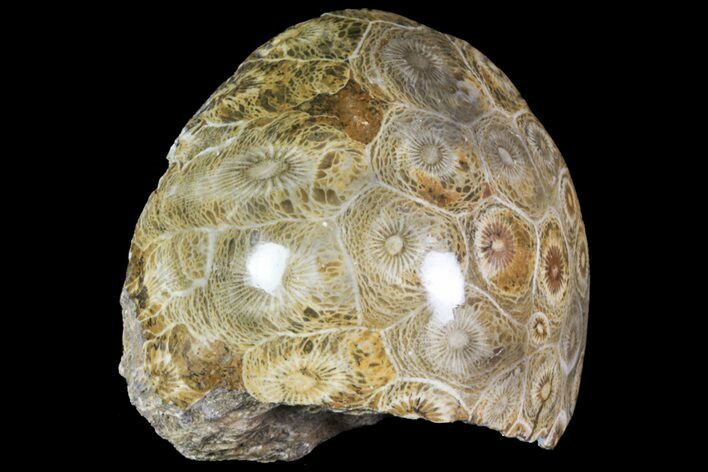 "2.6"" Polished Fossil Coral (Actinocyathus) - Morocco"