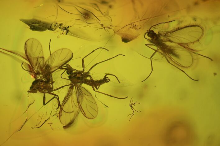 Fossil Fly Swarm (Diptera) In Baltic Amber