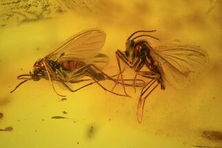 Three Fossil Flies (Diptera) In Baltic Amber For Sale, #72191