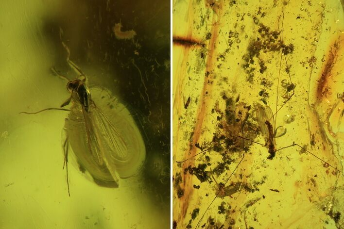 Fossil Crane Fly (Limoniidae) and Diptera In Baltic Amber