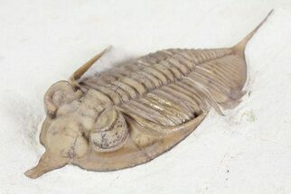 "Buy 2.25"" Huntonia Trilobite - Black Cat Mountain, Oklahoma - #72340"