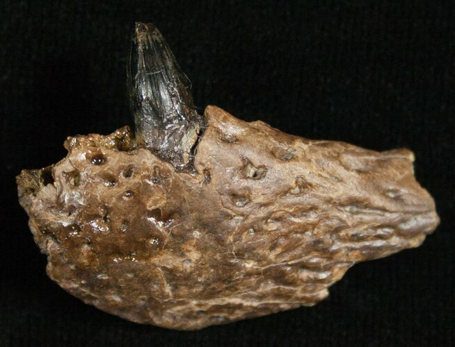 Leidyosuchus Jaw Section With Tooth - Hell Creek