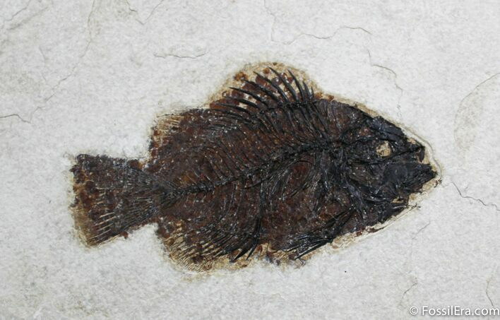 5 Inch Priscacara Liops Fossil Fish