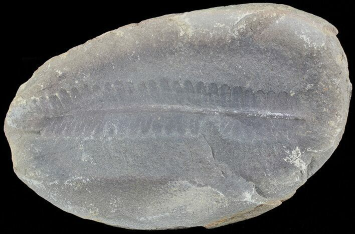 "3.7"" Pecopteris Fern Fossil - Mazon Creek"