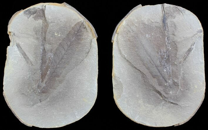 "2.9"" Pecopteris Fern Fossil (Pos/Neg) - Mazon Creek"
