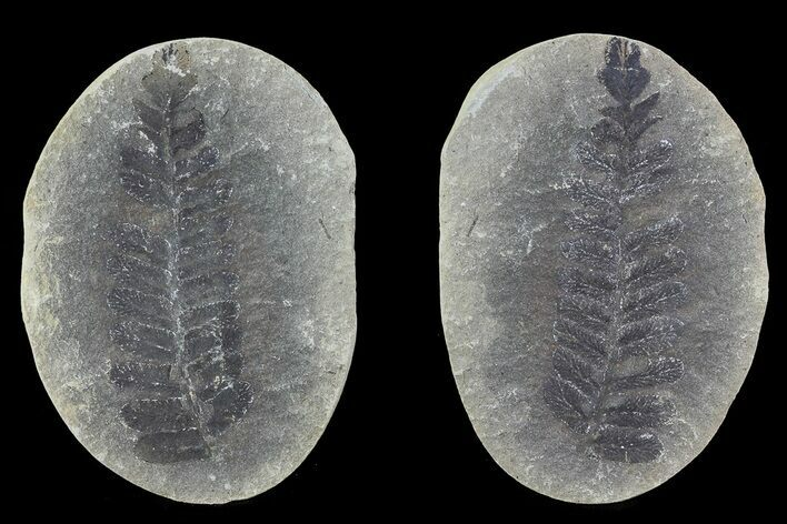 "2.7"" Pecopteris Fern Fossil (Pos/Neg) - Mazon Creek"