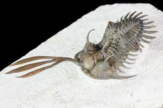 "Buy 2.7"" Trident"" Walliserops Trilobite - 40+ Free Standing Spines - #72748"