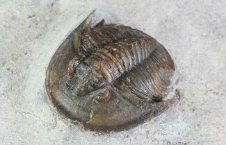 ".7"" Tropidocoryphe Trilobite - Proetid With Axial Spines For Sale, #72887"