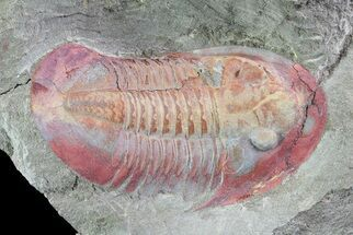 "Colorful, 2.25"" Ordovician Asaphellus Trilobite - Morocco For Sale, #73010"