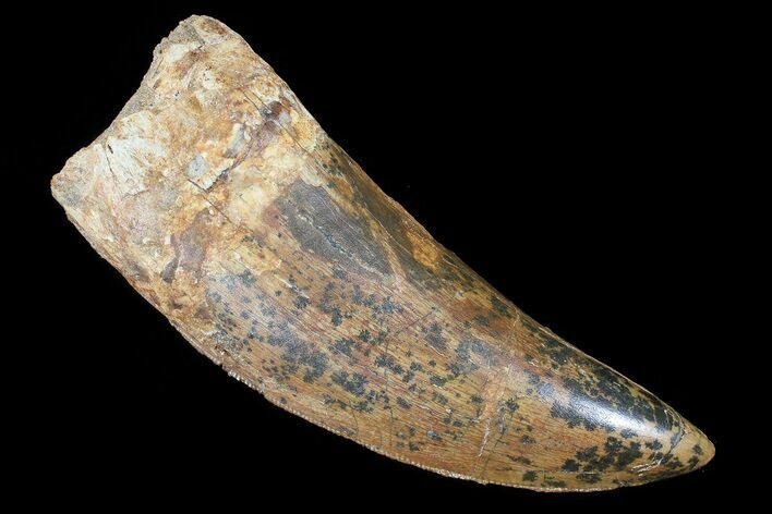 "3.32"" Carcharodontosaurus Tooth - Monster Meat-Eater"