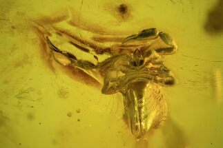 Buy Fossil Pseudoscorpion (Arachnid) Preserved In Baltic Amber - #73315