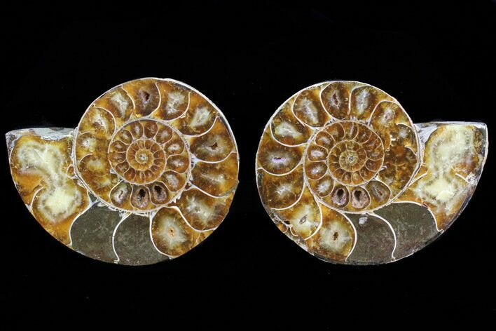 "3.7"" Cut & Polished Ammonite Fossil - Anapuzosia?"