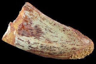 "Buy Bargain, 1.4"" Carcharodontosaurus Tooth - Thick Tooth - #72835"