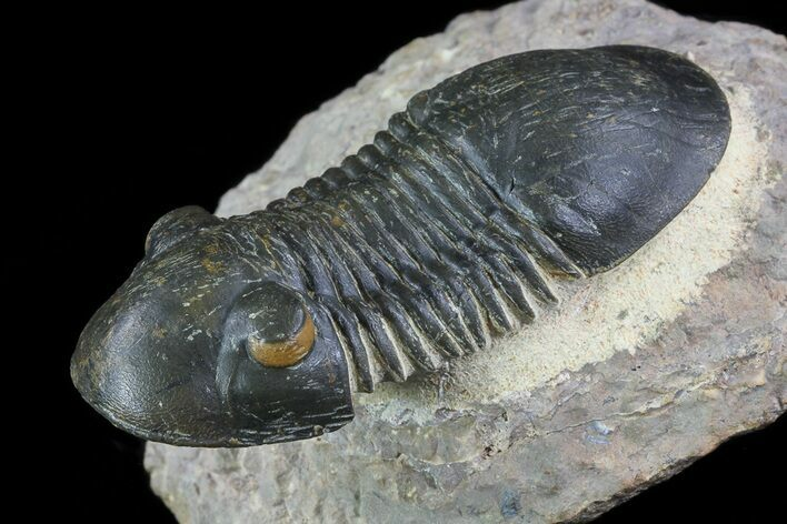 "2.5"" Paralejurus Trilobite Fossil - Orange Eyes!"