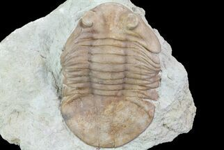 "Buy 2.4"" Asaphus (New Species) Trilobite - Russia - #73504"
