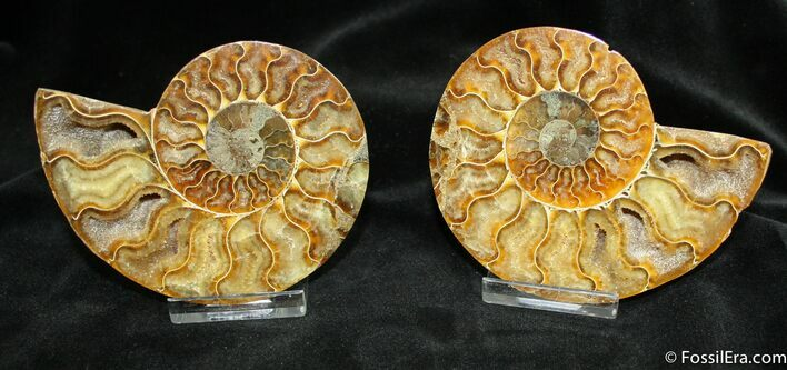 3.7 Inch Wide Polished Ammonite From Madagascar