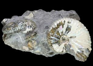 Hoploscaphities (Jeletzkytes) spedeni - Fossils For Sale - #73860