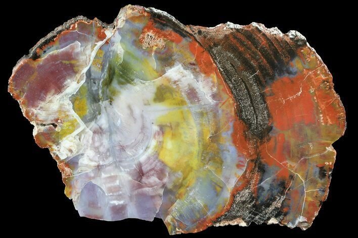 Brilliant, Polished Arizona Petrified Wood Slice - 10.4""