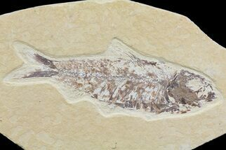 "Bargain, 4.5"" Knightia Fossil Fish - Wyoming For Sale, #74099"