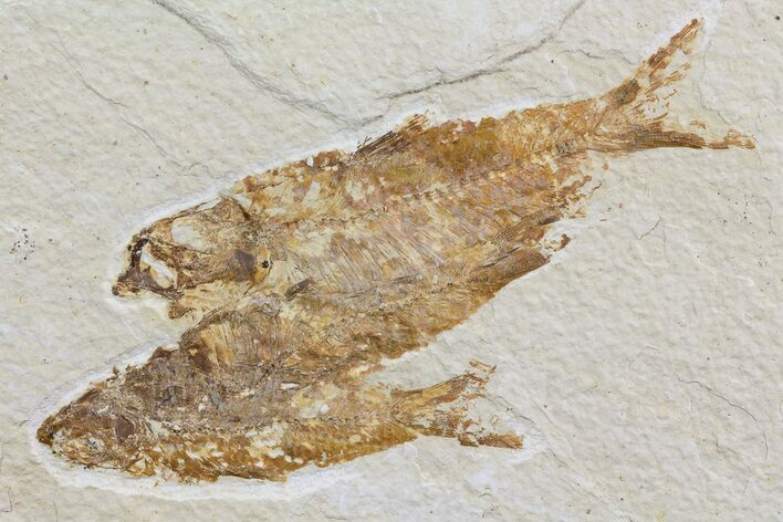 Multiple Knightia Fossil Fish - Wyoming