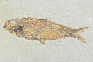 Knightia eocaena - Fossils For Sale - #74124