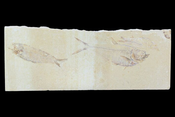 Multiple Fossil Fish (Knightia & Diplomystus) - Wyoming