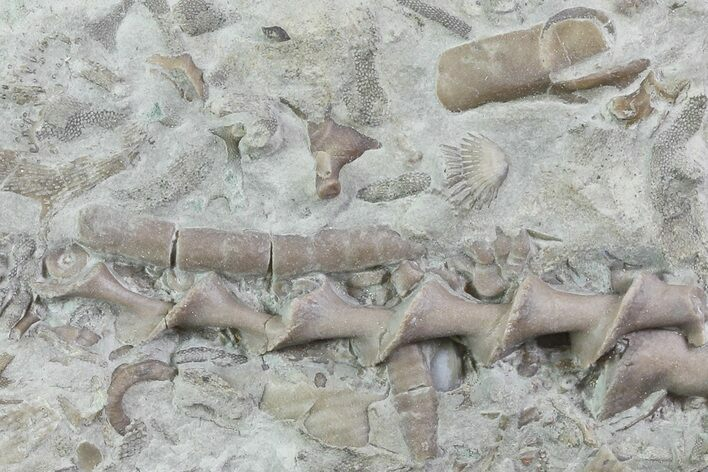 "1.9"" Archimedes Screw Bryozoan Fossil - Illinois"