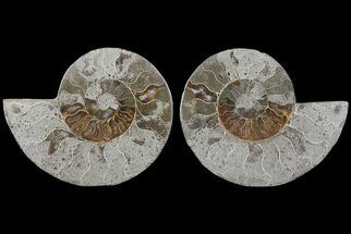 Cleoniceras - Fossils For Sale - #73953
