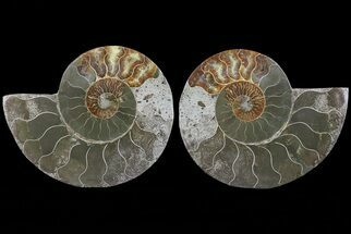 "Bargain, 5.8"" Cut & Polished Ammonite Fossil - Mud Filled For Sale, #73955"