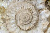 "Monster, 17"" Jurassic Ammonite Fossil - Madagascar - #74848-1"