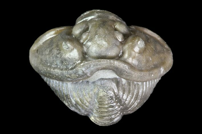 ".5"" Wide, Enrolled Flexicalymene Trilobite - Ohio"