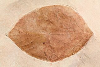 "Buy 3.1"" Fossil Leaf (Phyllites) - Montana - #75811"