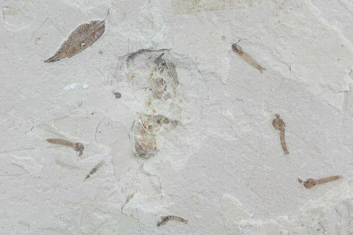 Fossil Crane Fly Larvae and Leaf - Green River Formation