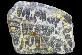 Asperia ashburtonia - Fossils For Sale - #76188