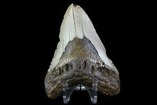 "Bargain, 3.81"" Megalodon Tooth - North Carolina For Sale, #76232"